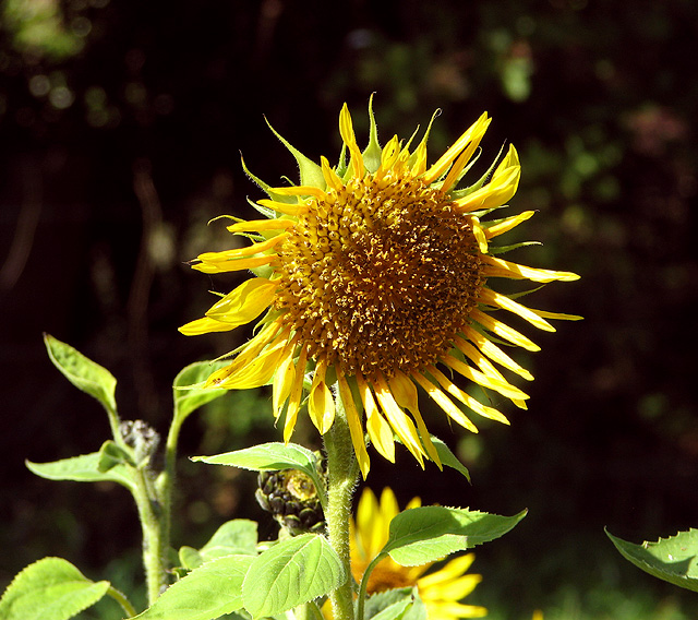 Sunflower in game bird crop