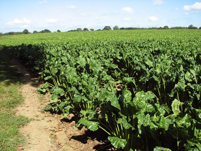 Sugar beet crop field east of Low Common