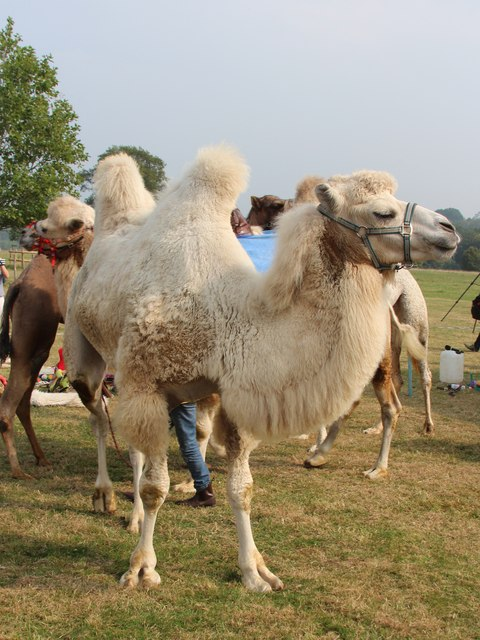 Camel at Hole Park