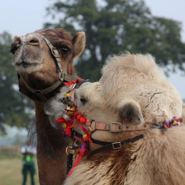 Camels at Hole Park