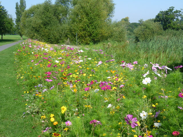 Wildflower spectacle in Danson Park
