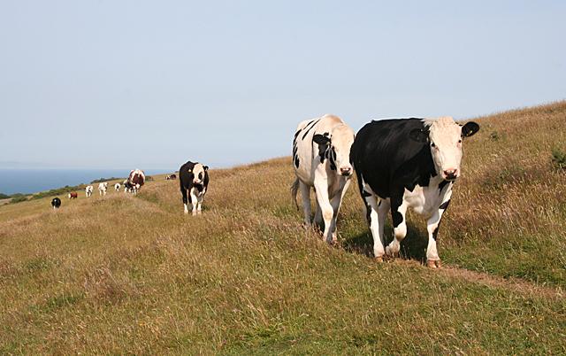 Cattle on Ballard Down