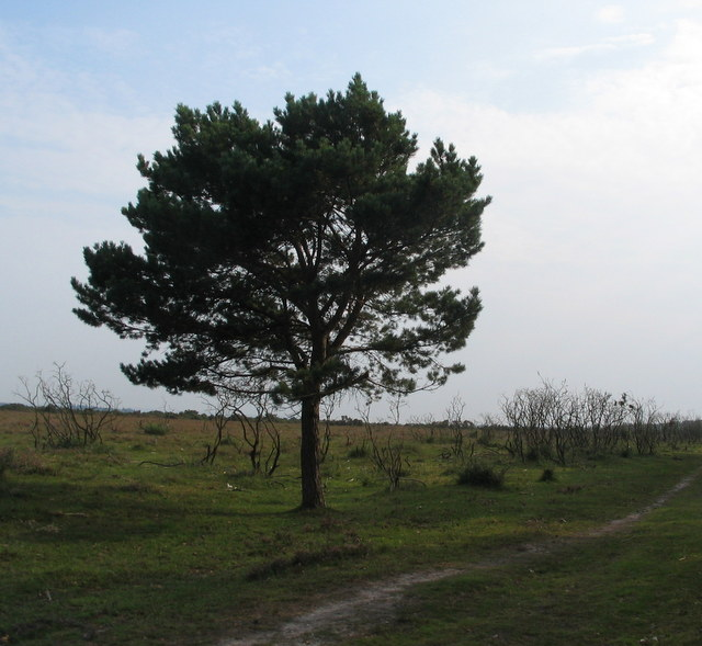 Lone pine, Beaulieu Heath