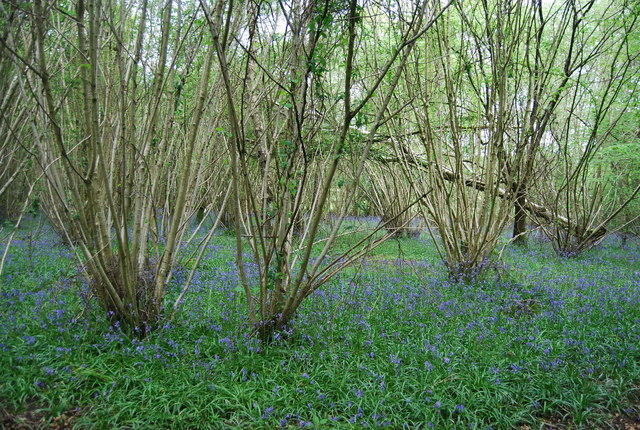 Coppicing and Bluebells, Sherlock's Wood