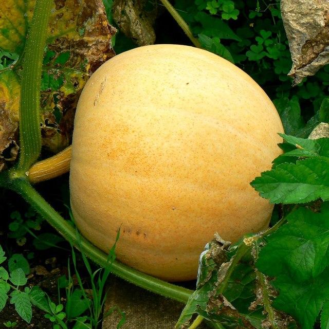 Pumpkin, allotments, Lacock, Wiltshire