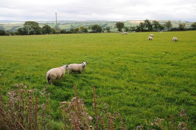 Sheep in a field near Long Covert