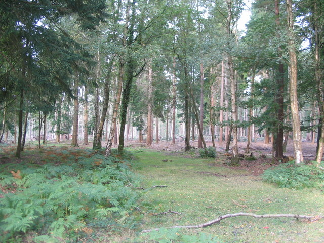 Pine woodland by Roundhill camp site