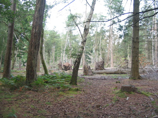Uprooted pines, Perrywood Ironshill Inclosure