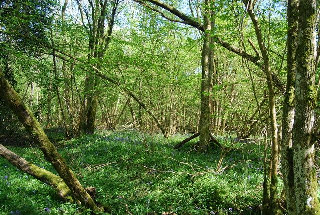 Birches Wood