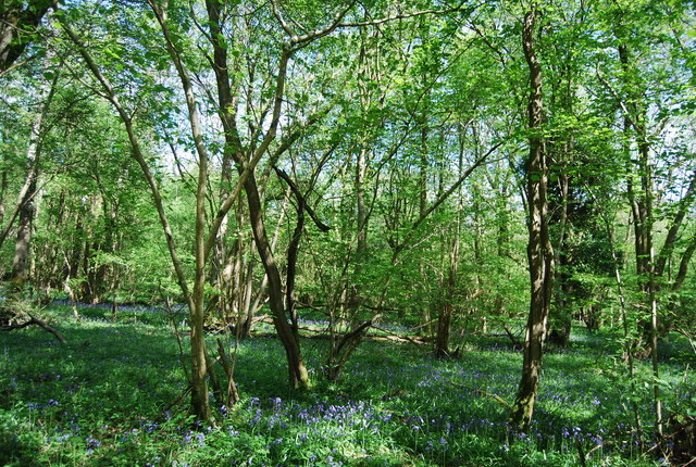 Bluebells, Candy's Copse