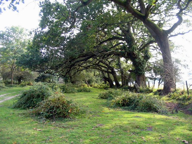 Oaks on the heath boundary