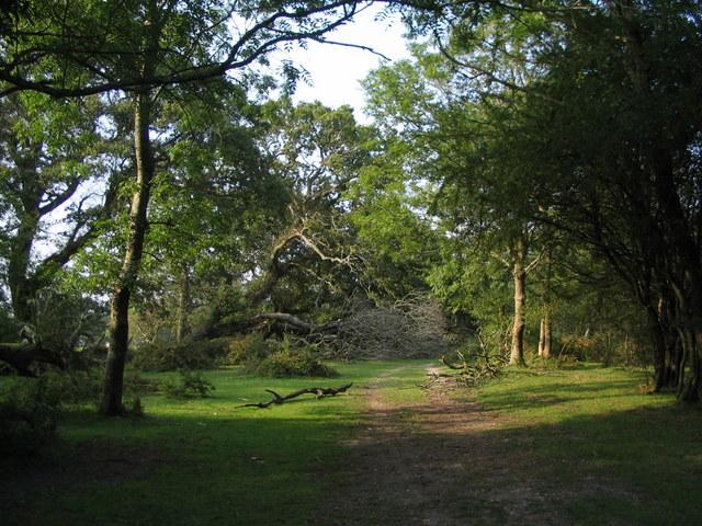 Fallen tree, Beaulieu Heath