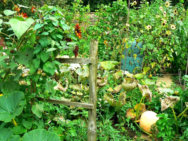 Part of an allotment garden, Lacock, Wiltshire