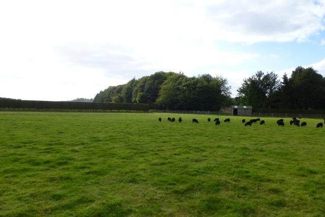 Sheep near Etal