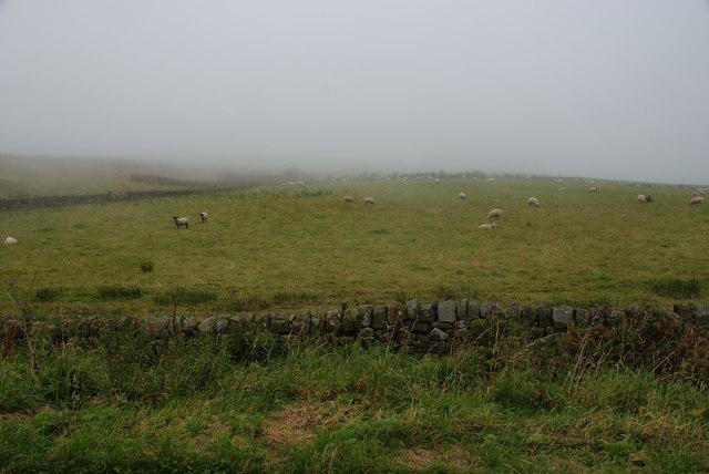 Sheep near Ravenscar