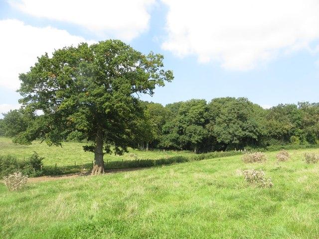 Oak tree at Out Wood