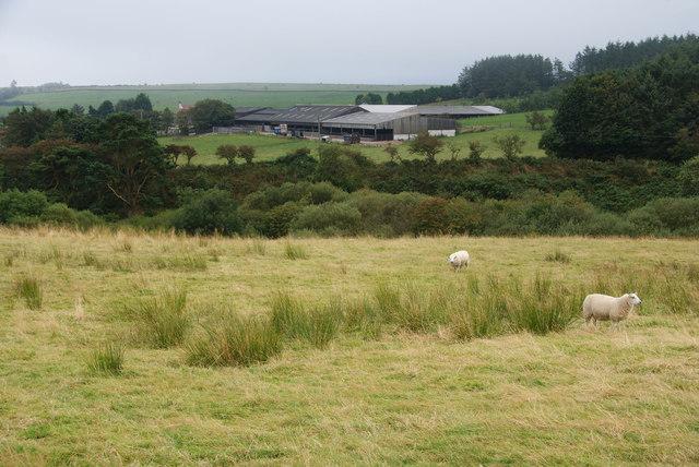 Sheep near Rudda Farm