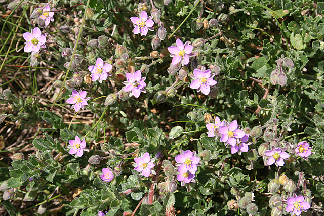 Spurrey (Spergularia sp)