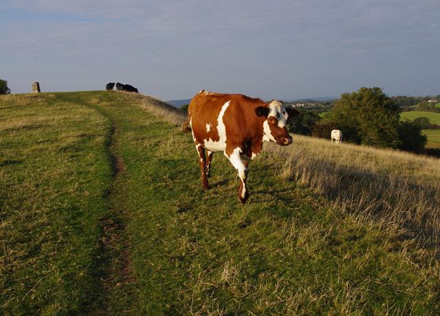 Heifers on Torrisholme Barrow