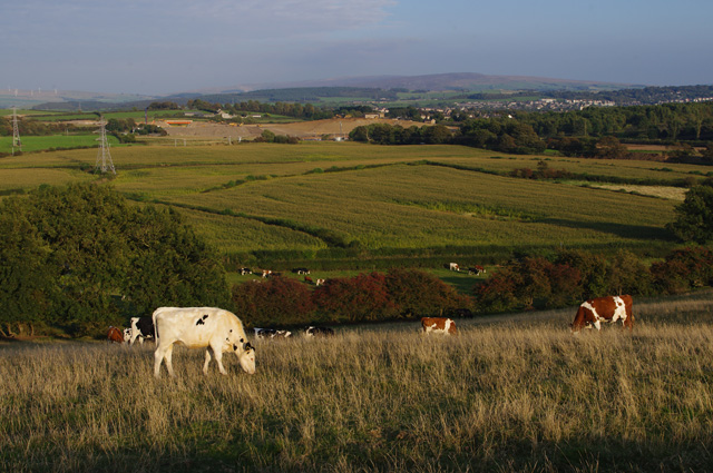 Heifers on Torrisholme Barrow