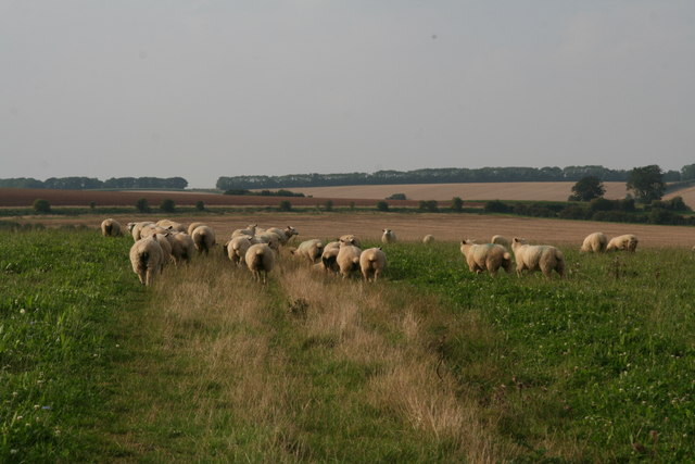Sheep in clover on the bridleway to Stainton le Vale