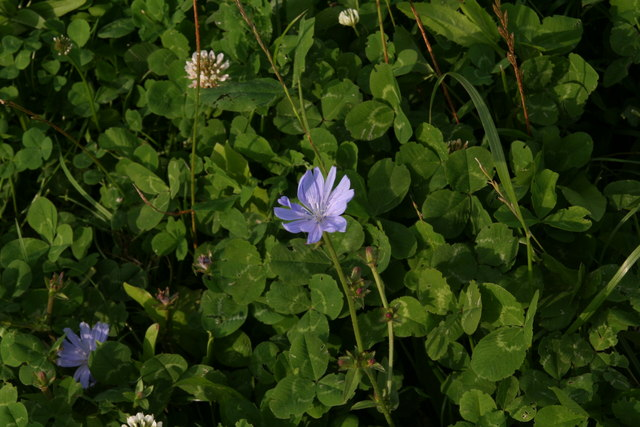 Chicory and wild white clover in a sheep field, Kirmond le Mire