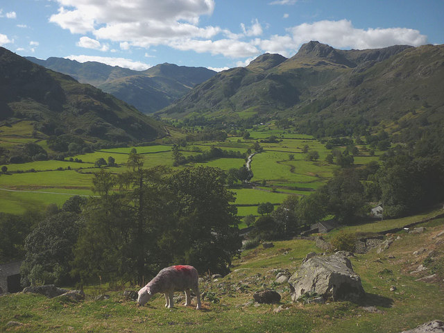 Sheep above Harry Place Farm, Great Langdale