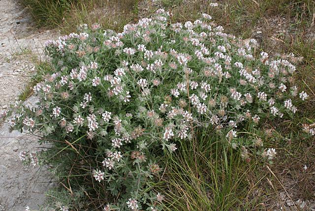 Sea Clover (Trifolium squamosum)