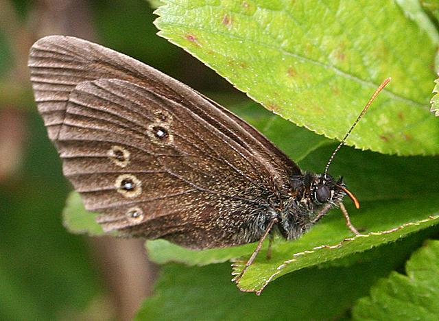 Ringlet (Aphantophus hyperantus)