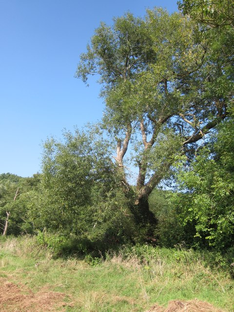 A large old willow tree growing on the South bank of the River Chew