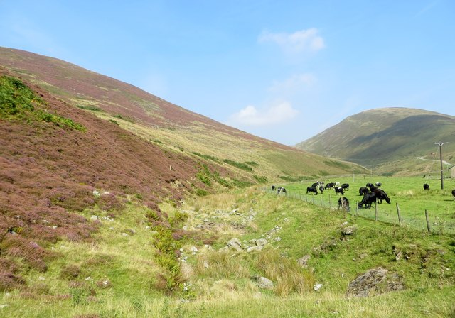 Cattle grazing in the Dunsop valley