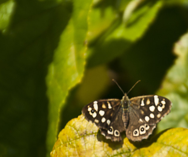 A Speckled Wood  butterfly (Pararge aegeria)