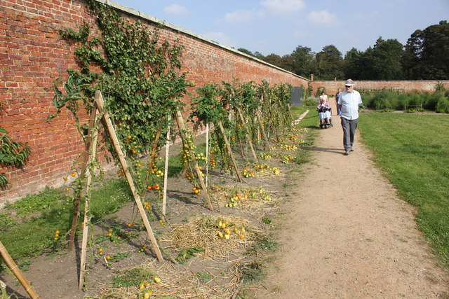 Tomato Plants in the Walled Garden