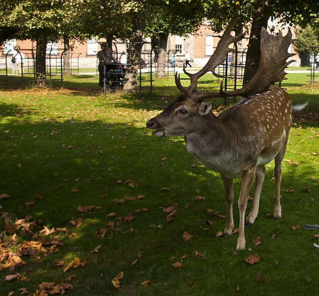 A fallow deer at Dunham Massey