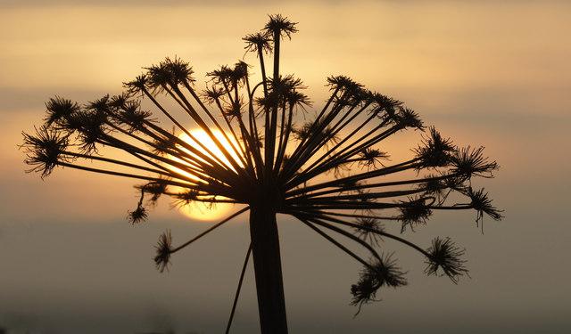 Angelica seedhead at sunset, Baltasound