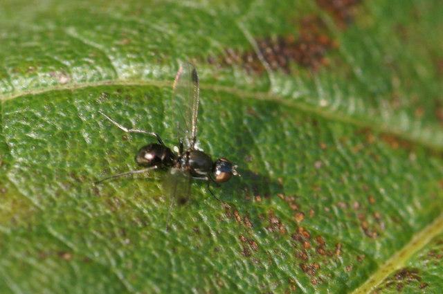 A sepsid fly, Baltasound school