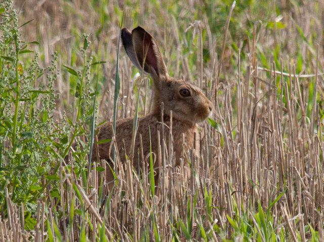 Wary hare
