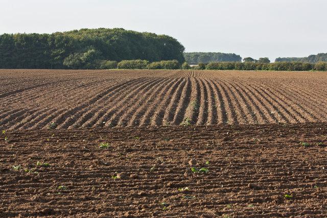 Crop field beside the B1156