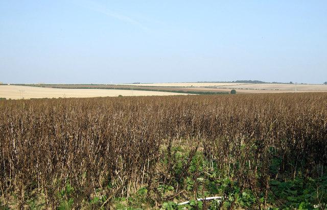 Field of beans, Thornholme Field