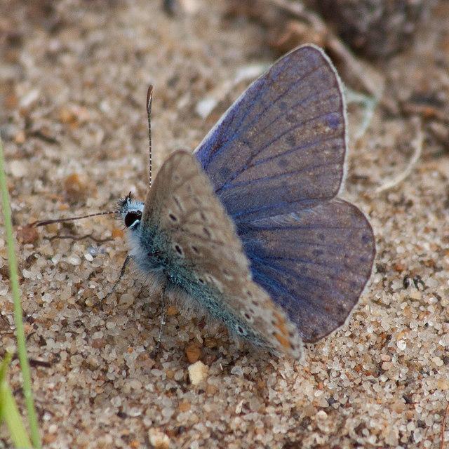 Underside, Common blue butterfly ♂