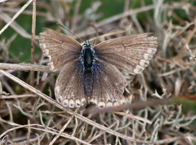 ♀Common blue butterfly at Holme Dunes