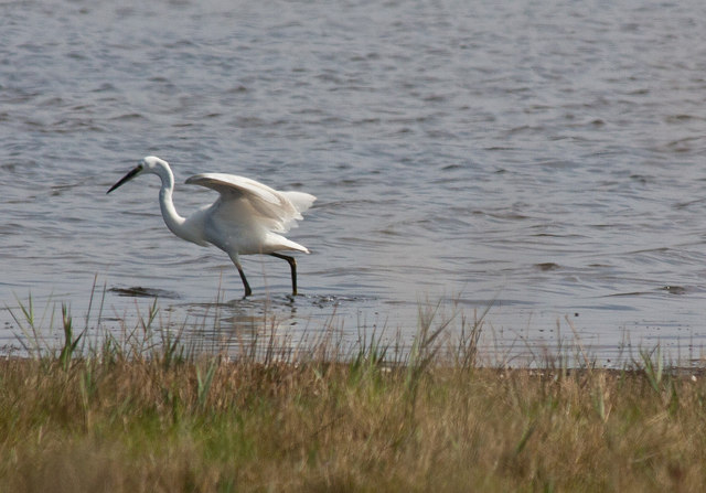 Little egret at Broad Water