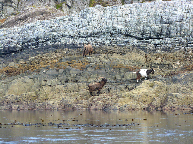 Wild goats on the shore