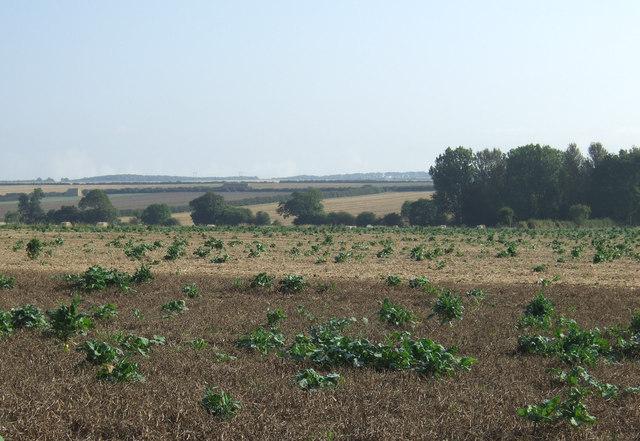 Crop field east of Back Lane