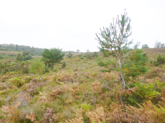 Hale Purlieu, heathland