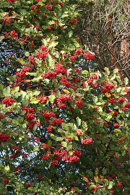 Whitebeam (Sorbus sp)