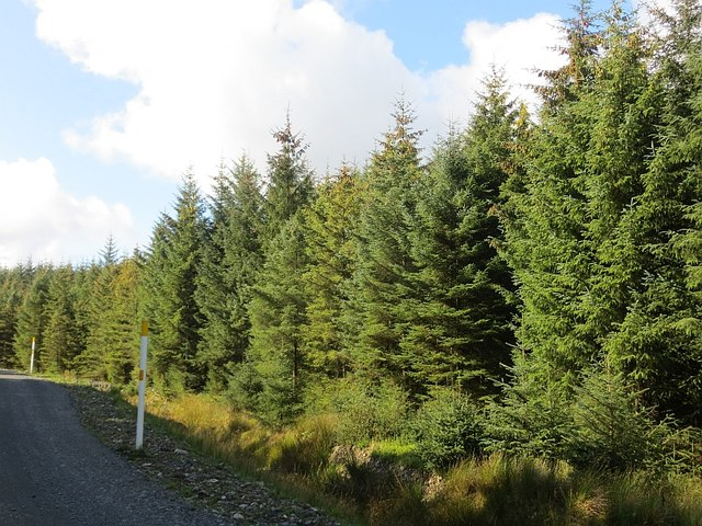 Spruce near Lochanhead
