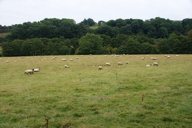 Sheep in the Esk Valley