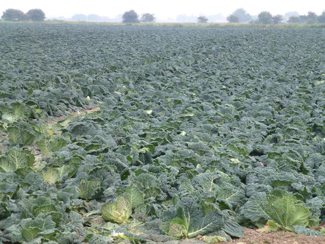 Cabbages near Sandygate Farm, Quadring
