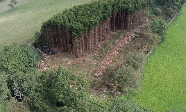 Felling Spruce trees